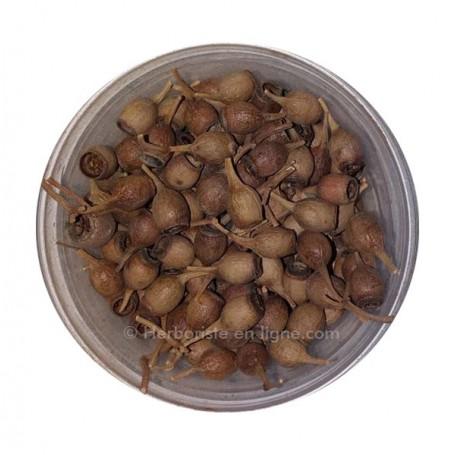 Graine D'Eucalyptus - بذور الأوكالبتوس