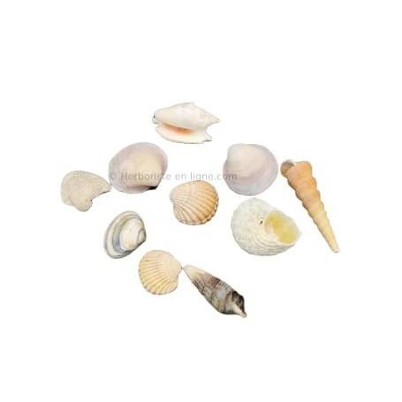 Coquillage de Mer Méditerranée - 1 pièce - صدفيات